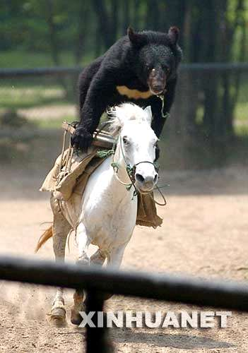黑熊骑摩托车走钢丝等大型动物表演