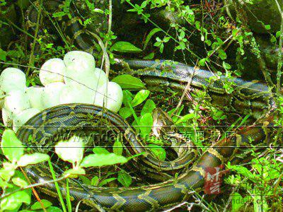 蛇妈妈和虎宝宝合不合:属蛇的妈妈可以要属虎的宝宝吗