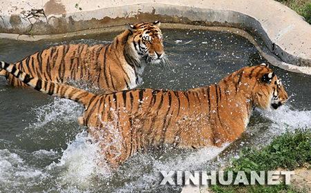 山东动物园老虎争夺水池(组图)