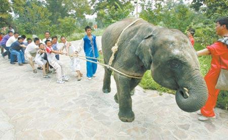 为提高动物运动会的风趣幽默,该园还增设了非正式比赛的中国首创老虎