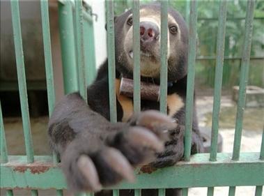 界最小熊类濒临灭绝 30年减少30 多