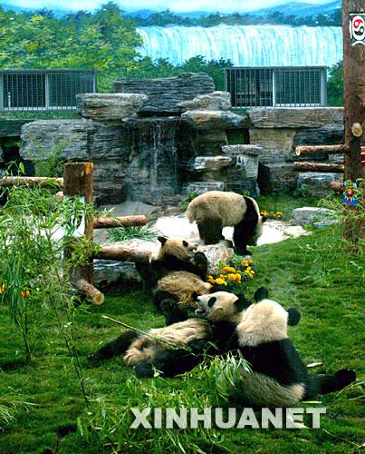 图片:5月24日,在北京动物园熊猫新馆,从卧龙转运出的大熊猫在吃竹子.