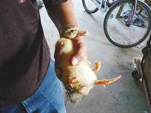 奇闻 农家鸭子长四条腿