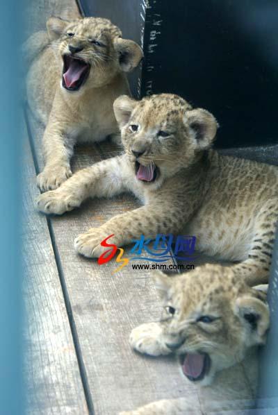 南山公园将对虎仔狮仔混养 培育狮虎兽(图)