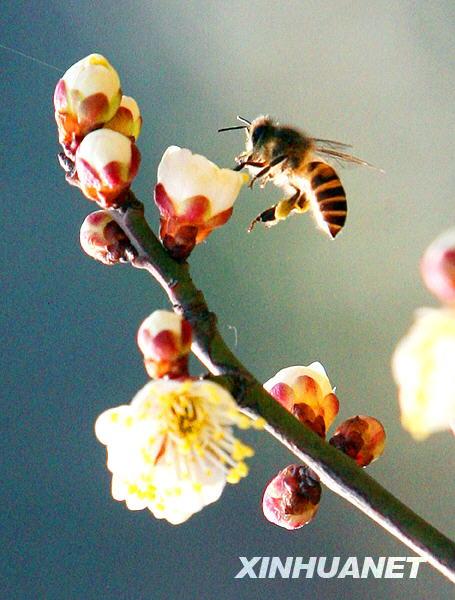 2月10日,一只蜜蜂在苏州观前公园的梅花枝头采蜜.新华社发(王建中摄)图片