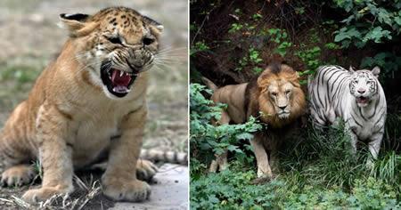 它们是世界上最大的猫科动物.