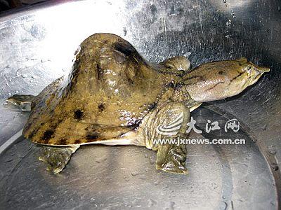 江西莲花县现驼背甲鱼 可能为基因突变(图)