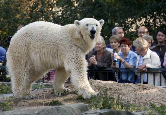 9月23日,在德国柏林动物园,北极熊焦万娜首次与游客见面.