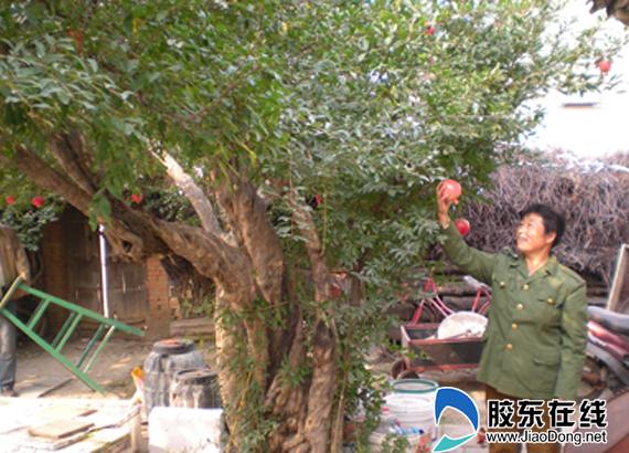 剪枝 后 的 石榴 树 图 石榴 树 整形 修剪