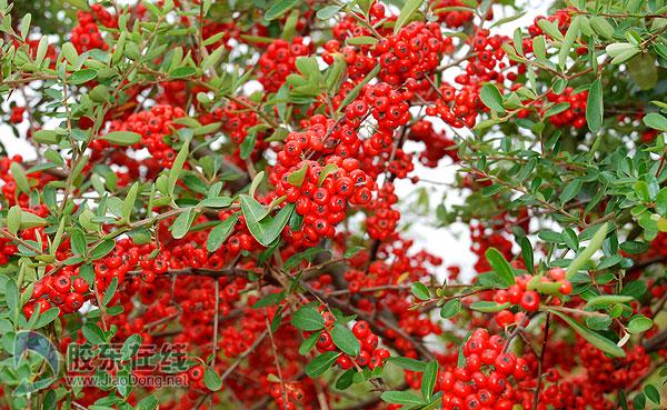山上野果名称及图片_野果图片名称大全南方野果 山上的野果名称图 图片