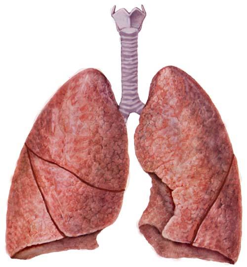 """胶东在线 健康 家庭医生- 疾病防治          肺脏疾病:肺叶又被称为""""图片"""