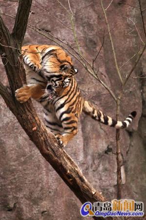 动物园的东北虎爬树玩耍