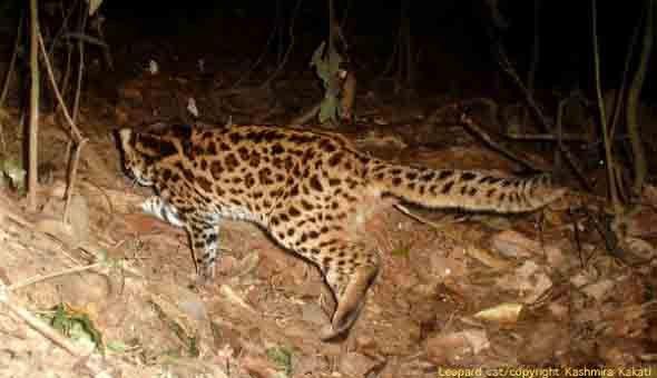 印度森林内同时发现花豹等7种猫科动物(组图)