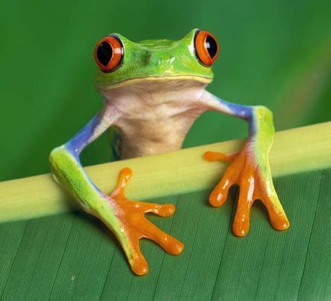 壁纸 动物 两栖 蛙 468_426