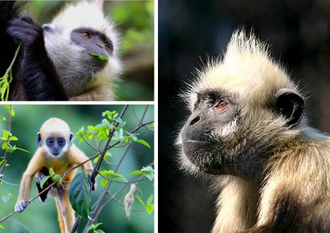 12种最濒临灭绝动物公布:白头叶猴上榜