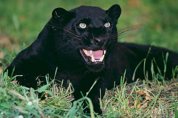动物黑豹带墨镜图片
