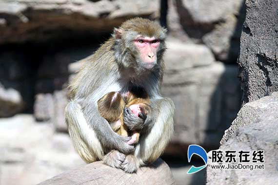 烟台动物园双胞胎猕猴降生 罕见的万分之一概率