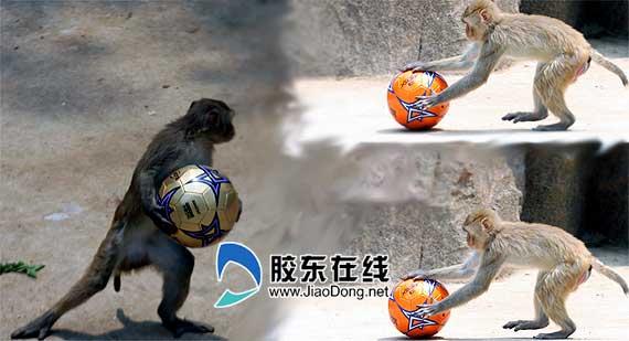 南山公园动物园世界杯猴子老虎踢足球(图)