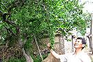 莱州金城罕见百年白石榴开花 果实都是白色(图)