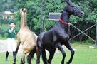 三匹汗血宝马驰抵苏州 身价总额达两千万元(图)