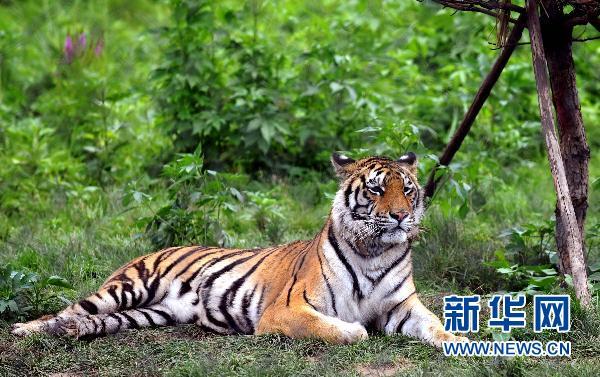 """7月15日,沈阳森林野生动物园内两只东北虎在玩耍。曾因为发生饿死东北虎事件而停业整顿的沈阳森林野生动物园不久前重新向游客开放,开始试营业。目前,园内东北虎、白虎身体状况良好。一名工作人员告诉记者:动物园现在由政府接管,老虎一天""""用餐""""达十几斤牛肉,外加鸡腿或白条鸡。 新华社记者 姚剑锋 摄"""