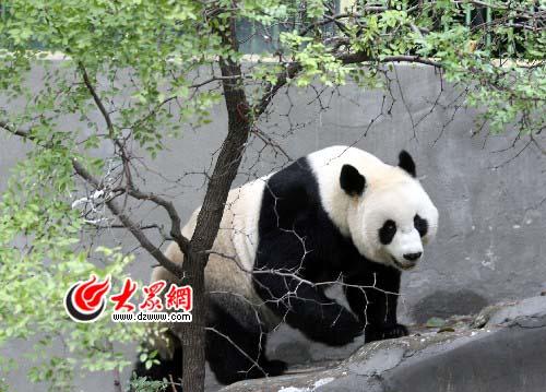 """济南动物园第一美女大熊猫""""泉泉""""意外死亡(图)"""