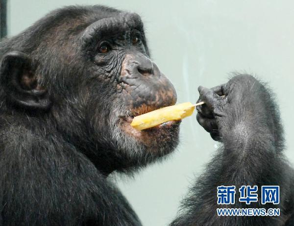 7月28日,在西安秦岭野生动物园,猩猩艾艾在吃冰棍降温.