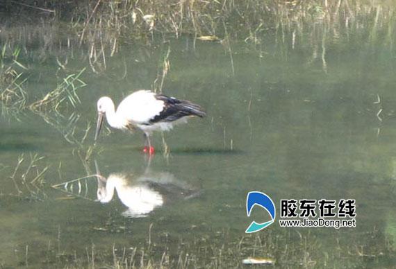 国家一级保护动物东方白鹳现身莱州(图)