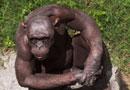 印度动物园无毛黑猩猩成一大景观(组图)