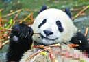 """亚运熊猫正值""""断奶期""""自带口粮赶赴广州(图)"""