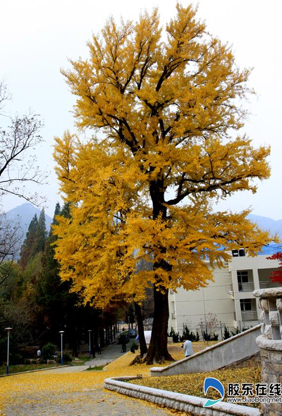 胶东在线网11月9日讯(通讯员 林向民 李业国)寒风瑟瑟,落叶无情这往往描绘的是一番凄凉萧瑟的景象,但是如今在昆嵛山,却呈现出了另外一番意境:金黄色的银杏树,铺满地的银杏叶,一幅美轮美奂的初冬景色。   秋冬时节,昆嵛山林场三分场道路旁的银杏叶早已泛黄,纷纷扬扬飘落而下,一阵风吹来,金黄色的叶片随风飞舞如展翅的蝶儿般美丽,放眼望去,一大片一大片的银杏叶铺满了小径,走在上面,犹如踏在金黄色的地毯上,黄灿灿的银杏叶给寒冷的冬季添上了一道优美的风景线。   昆嵛山林场三分场场长张涛介绍说:到秋冬以后,遍