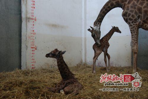动物园长颈鹿生下双胞胎 世界罕见(组图)