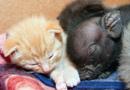 南非被抛弃小猪找到新家 认猫当妈妈(组图)