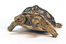 斯洛伐克现双头五腿龟 可长成重45公斤巨龟(图)