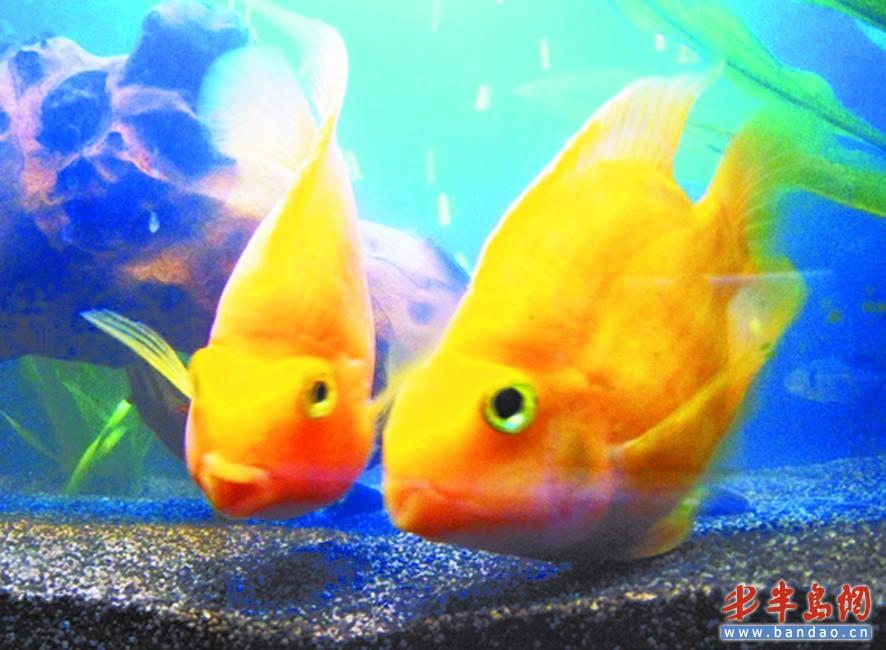 黄色人体艺术_市民买到人工血鹦鹉鱼 饲养俩月鱼体褪成黄色
