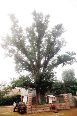 的童谣,源起该村一棵古老的银杏树.这棵1300多岁的银杏雌株,