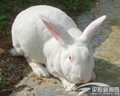獭兔兔子diy步骤图解