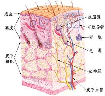 皮肤组织结构示意图