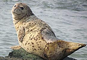 野生斑海豹现身长岛 从西太平洋游来产仔(图)