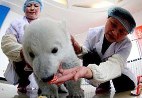"""蓬莱小北极熊""""过百岁"""" 喜欢吃水果(图)"""