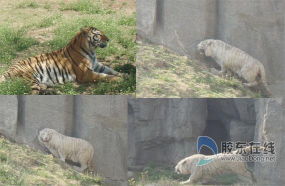 烟台南山公园动物园从济南动物园引进的白虎与游客见
