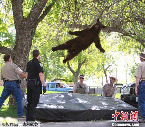 国大学校园上演空中飞熊 被麻醉枪射倒图片