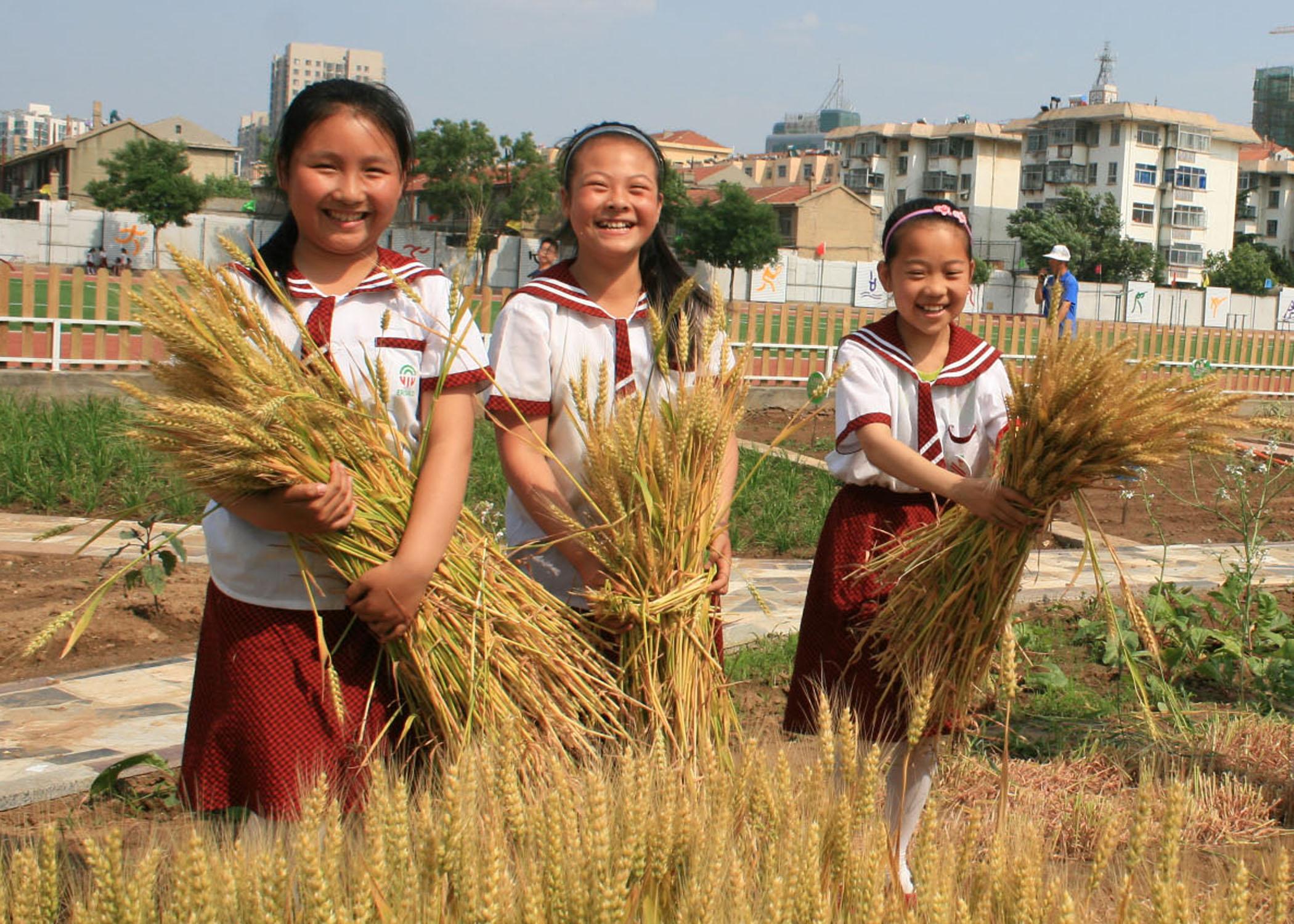 蓬莱市第二实验小学种植园里收小麦