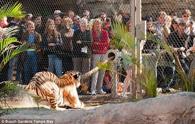 美国动物园举办人虎拔河比赛