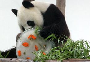 """熊猫""""清风""""5岁生日卖萌 获赠竹子冰淇淋(图)"""