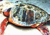 渔民捞上巨大野生海龟 年龄应在100岁以上(图)