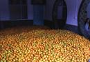 湖南石门45万吨柑橘滞销 无人收购烂在泥地(图)
