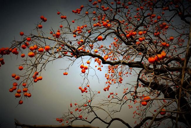 秋天柿子树的作文