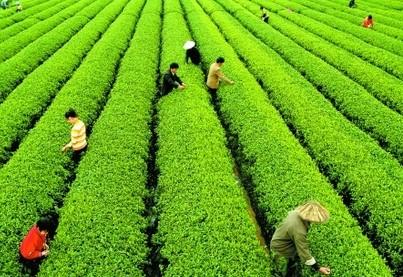 发展茶叶产业给他带来了成功