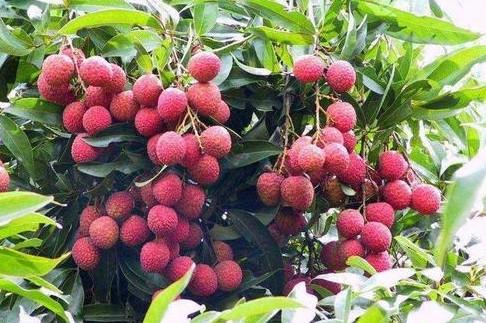 荔枝果园优化改造技术
